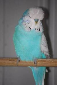 ADULT ENGLISH BUDGIES FOR SALE Highett Bayside Area Preview