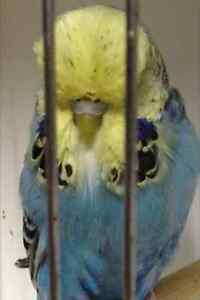 Budgies Club Rung Adult Breeders Ascot Belmont Area Preview