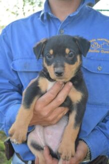 Working dog pups Duaringa Central Highlands Preview
