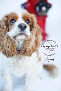 """Adult Female Dog - Cocker Spaniel: """"Angie~In Foster to Adopt!"""""""