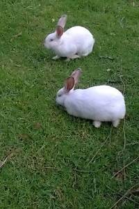 Meat Rabbits Kyogle Kyogle Area Preview