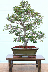Bonsai trees and accessories