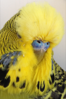 Budgies - Show Quality Club Rung Adult & Young Birds Package