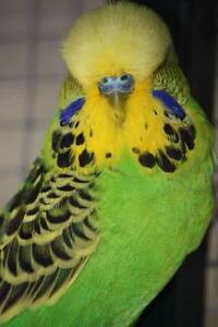 ENGLISH BUDGIES FOR SALE Highett Bayside Area Preview