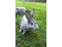 1 buck 2 doe rabbits