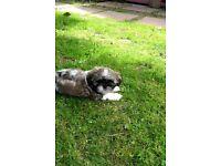 Shih-tzu Female Puppy 9 Weeks Old