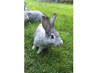 Chinchilla rabbits