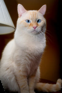 Wanted: White or Flame Point Siamese Kitten/Cat