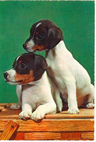 Unusual Oversize Rat Terrier Glossy Photo Dog Postcard c1960 Italy Heartwarming!