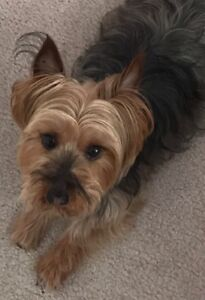 MISSING: Terrier in South Surrey
