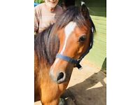 Welsh Section A Bay Mare, 10 years old, WPS registered.