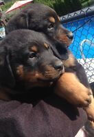 Adorable Male Rottweiler Pups