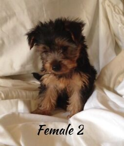 Terrier Adopt Dogs Puppies Locally In Canada Kijiji Classifieds