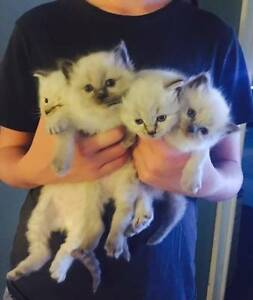 Ragdoll kittens for sale Arcadia Hornsby Area Preview