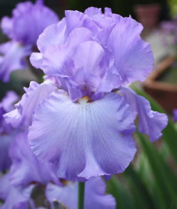 Iris Bulbs - $2-$10 or trade for perennials