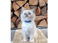 Gccf registered Ragdoll Kittens 3 boys to pet homes only. Absolutely stunning, laid back cats.
