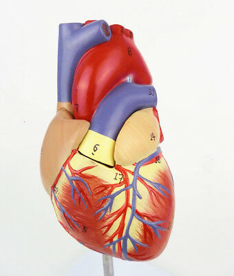 11 Human Heart Anatomy Model Medical Circulation System Of Internal Model