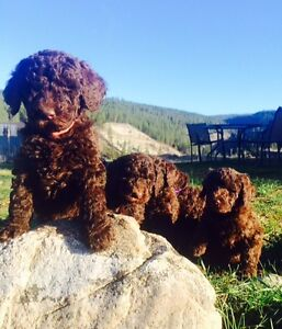 Chocolate Brown Standard Poodle Puppies