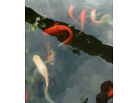 FIsh For Sale - garden pond clearance. Approx 30 fish.