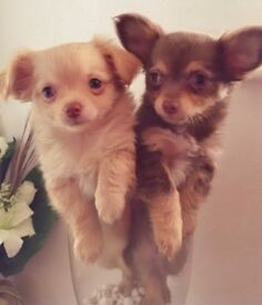 Tiny Lilac Chocolate Chihuahua puppies