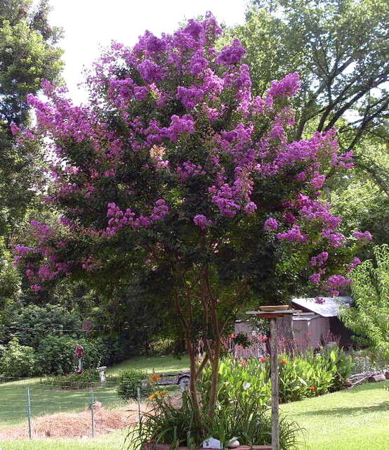 35 PURPLE CREPE MYRTLE Crape Tree Shrub Lagerstroemia Flower Seeds +Gift CombSH