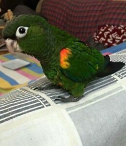 Hand raised super friendly rare FIERY SHOULDER CONURE BABY