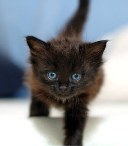 LOOKING FOR MALE BLACK KITTEN WITH BLUE EYES Kitchener / Waterloo Kitchener Area image 4