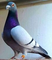 Wanted: CU/AU banded Racing Pigeons Wanted