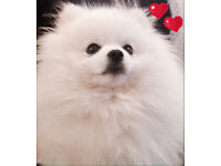"XX Stunning ""GENUINE KC BOO TYPE MALE"" Pomeranian! XX"