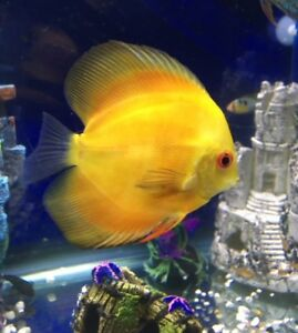 5.5 in Yellow Melon Discus for rehome