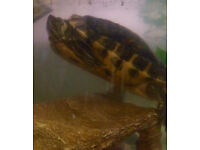 Yellow slider turtle and tank FREE TO A GOOD HOME
