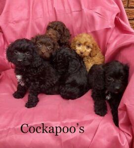 Cockapoo Female Puppy | Kijiji in Ontario  - Buy, Sell