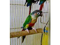 Baby Conure Parrots