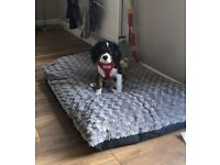 16 weeks cavalier King Charles puppy for sale