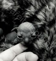 ***BARE IT ALL SPHYNX*** Babies have arrived