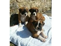 St. Bernard / Mastiff cross puppy - One left 9 and half weeks old