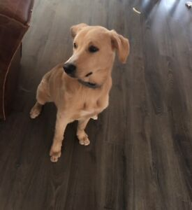 Border Collie/Lab Mix Puppy For Immediate Re-Homing