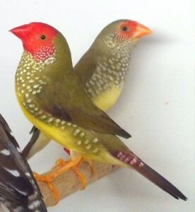 Pair Of Star Finches