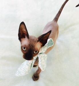 Hairless Sphynx Kittens (Registered)