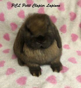 Bébé lapin bélier hollandais femelle