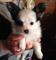 CKC Registered Papillon Puppies and Young Adult Chihuahua's