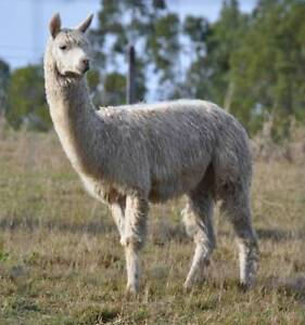 Glen Terah Pedigree Suri Alpacas - White Male Pet or Guard Dayboro Pine Rivers Area Preview