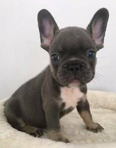 PURE FRENCH BULLDOG PUPPIES AVAILABLE NOW Maroochydore Maroochydore Area Preview