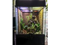 Neon Day Gecko Pair (Phelsuma klemmeri) & Bioactive Exo Terra Full Setup