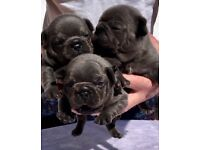 Adorable Solid Blue French Bulldog Puppies 4 Sale