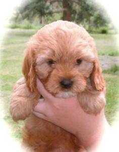 Cavoodle , Cavalier King Charles Spaniel , KCC Heidelberg Banyule Area Preview