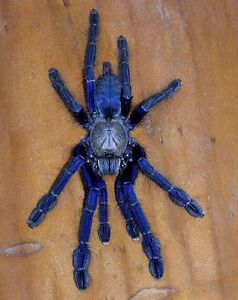 Omothymus violaceopes Tarantula