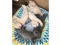 Pedigree British shorthair Kittens For Sale