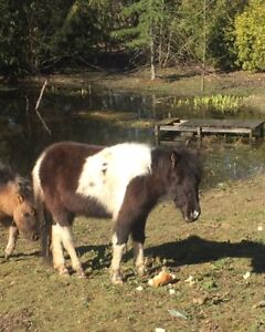 Weanling and yearling ponies will hold till xmas