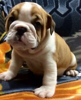 Bulldog Pups, Brindle/Fawn/White, Males and females